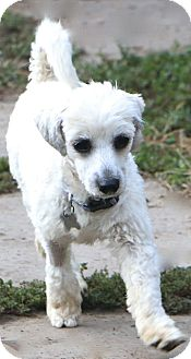 Maltese/Havanese Mix Dog for adoption in Allentown, Pennsylvania - Chilton