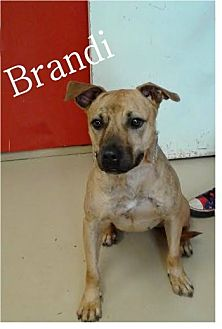 Bulldog/Terrier (Unknown Type, Medium) Mix Dog for adoption in Ozark, Alabama - Brandi