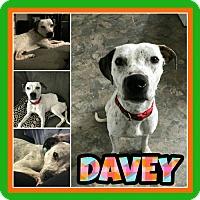 Adopt A Pet :: Davey - Fort Collins, CO