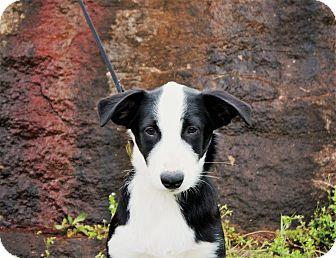 Border Collie/Australian Shepherd Mix Dog for adoption in Pulaski, Tennessee - Shelby