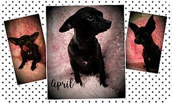 Chihuahua Mix Dog for adoption in Philadelphia, Pennsylvania - April