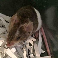 Adopt A Pet :: VANA - Urbana, IL