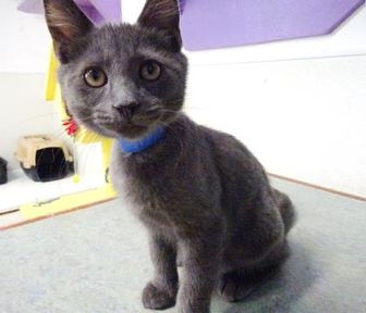 Russian Blue/Domestic Shorthair Mix Cat for adoption in Belleville, Michigan - Charlie