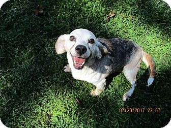 Beagle Dog for adoption in Ashland, Virginia - Miss Dale