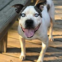 Adopt A Pet :: Titan - Franklin, TN