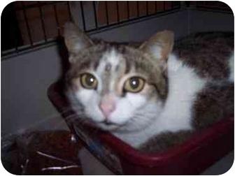 Domestic Shorthair Cat for adoption in Medina, Ohio - Dee Dee