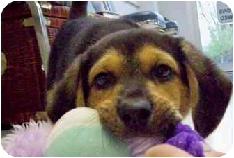 Beagle Mix Puppy for adoption in HARRISONVILLE, Missouri - SNOOPY