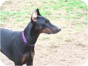 Doberman Pinscher Dog for adoption in Arlington, Virginia - Kaja