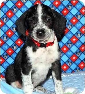 Shepherd (Unknown Type)/Terrier (Unknown Type, Medium) Mix Puppy for adoption in Broomfield, Colorado - Nemo