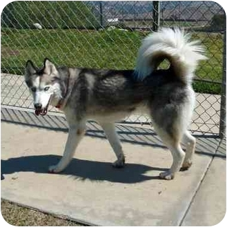 Husky Dog for adoption in San Clemente, California - CHANCE