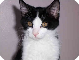 Domestic Shorthair Kitten for adoption in Owatonna, Minnesota - Pesto