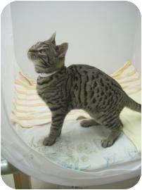 Ocicat Kitten for adoption in North Charleston, South Carolina - Cisco