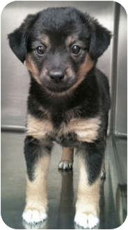 Collie Mix Puppy for adoption in Mt. Prospect, Illinois - Pretzel