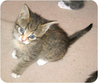 Domestic Shorthair Kitten for adoption in Marseilles, Illinois - Raquel