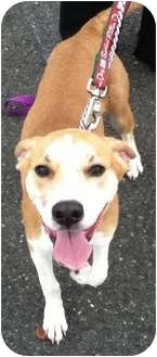 Beagle Mix Puppy for adoption in Union, New Jersey - Darla - Pending