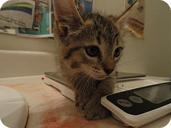 Domestic Shorthair Kitten for adoption in Phoenix, Arizona - Goldie