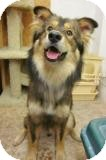Husky/Collie Mix Dog for adoption in Beacon, New York - Wolfie
