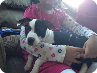 American Pit Bull Terrier Mix Puppy for adoption in Wethersfield, Connecticut - Ivy