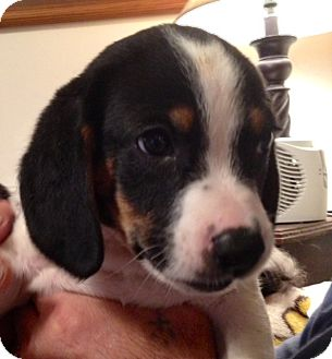 Beagle Mix Puppy for adoption in ST LOUIS, Missouri - BARKLEY