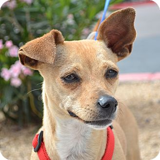 Chihuahua Mix Dog for adoption in Gilbert, Arizona - Lollipop