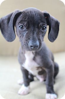 Chihuahua/American Hairless Terrier Mix Puppy for adoption in Bedminster, New Jersey - Merlin