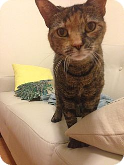 Domestic Shorthair Cat for adoption in Brooklyn, New York - Madeline
