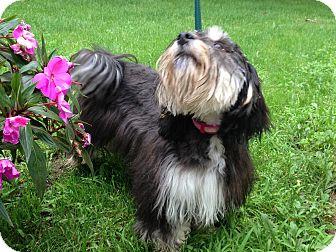 Shih Tzu/Maltese Mix Puppy for adoption in batlett, Illinois - Kenize