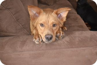 Golden Retriever Mix Dog for adoption in Chattanooga, Tennessee - Toby