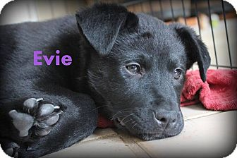 Border Collie/German Shepherd Dog Mix Puppy for adoption in Franklinville, New Jersey - Evie