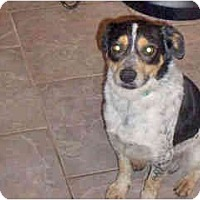 Adopt A Pet :: Bowser - Scottsdale, AZ