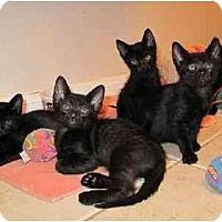 Adopt A Pet :: Bali, Jacob and Phebe - Whitestone, NY