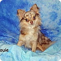 Adopt A Pet :: Louie - Ft. Myers, FL