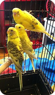 Budgie for adoption in Lenexa, Kansas - Payton