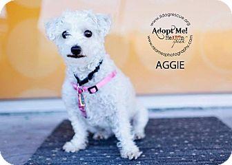 Poodle (Miniature)/Schnauzer (Miniature) Mix Dog for adoption in Shawnee Mission, Kansas - Aggie