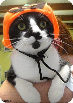 Domestic Shorthair Cat for adoption in Key Largo, Florida - MooMoo