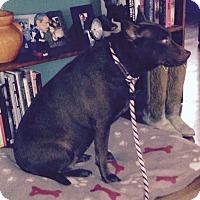 Adopt A Pet :: India - Austin, TX