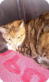 Calico Cat for adoption in Spruce Pine, North Carolina - Clementine