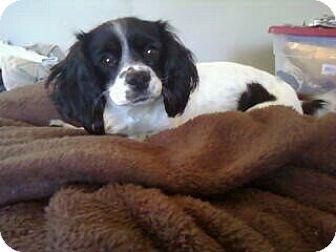 Cavalier King Charles Spaniel/Cocker Spaniel Mix Dog for adoption in Long Beach, California - MIILLIE
