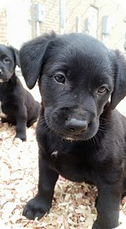 Labrador Retriever Mix Puppy for adoption in SHELBY TWP, Michigan - Miles