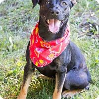 Adopt A Pet :: Callie - Rochester/Buffalo, NY