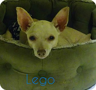 Chihuahua Dog for adoption in House Springs, Missouri - Lego (5 pounds)
