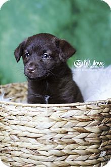 Cocker Spaniel/Pomeranian Mix Puppy for adoption in Cincinnati, Ohio - Fozzie Bear