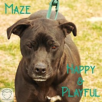 Labrador Retriever/Pit Bull Terrier Mix Dog for adoption in Washburn, Missouri - Maze