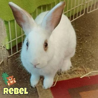 Dwarf Hotot Mix for adoption in Los Angeles, California - Rebel