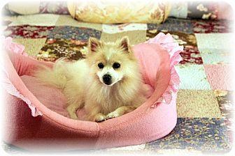 Pomeranian Dog for adoption in Dallas, Texas - Princess Aurora (Sleeping Beauty)