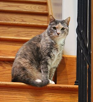 Domestic Shorthair Cat for adoption in Carlisle, Pennsylvania - Sunnie
