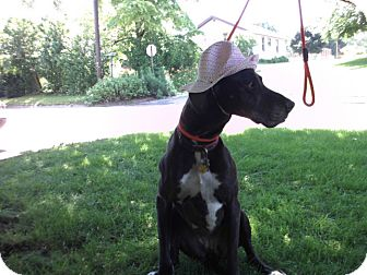 Great Dane Dog for adoption in Baden, Pennsylvania - Ophelia