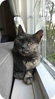 Domestic Shorthair Cat for adoption in Acushnet, Massachusetts - LuLu