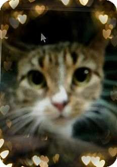 Domestic Shorthair Cat for adoption in Trevose, Pennsylvania - Chioma