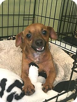 Chihuahua/Dachshund Mix Dog for adoption in San Antonio, Texas - Sasha